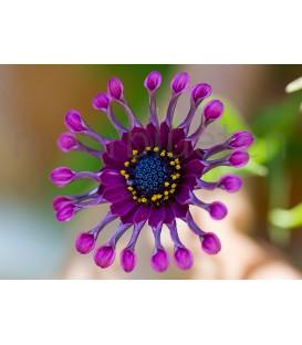 Löffelblume